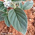 Herbier de Flora