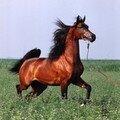 chevaux et croisement cheval zebre , ane zebre