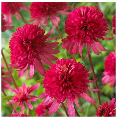 echinacea-purpurea-southern-belle