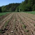 2009 05 29 Les pommes de terres