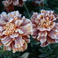 2008 10 05 Deux fleurs d'oeillet d'Inde givrée