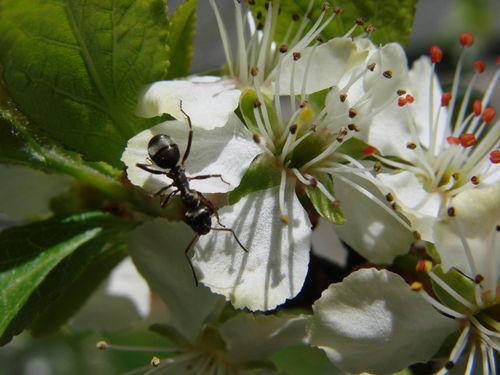 2008 05 07 Une fourmis sur une fleur de prunier