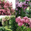 Rose ancienne : 'La Fraîcheur'
