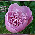 balanicole_2016_06_mai_juin_la saison des pivoines_22_plumes d'anges