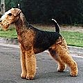 Airedale T
