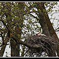 En l'air ou au sol, focus sur la <b>Cigogne</b> <b>blanche</b> aux Marais de Brouage, au printemps