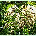 Fleurs d'Acacia 3004153