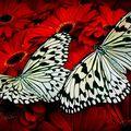 Butterfly (14)