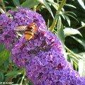 Le <b>Buddléia</b> au parfum de miel attire les papillons…