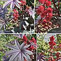 Ricin (Euphorbiacées)