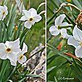 Narcisse d