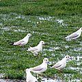 Oiseaux ile de re foto Mo2 (62)-h1500