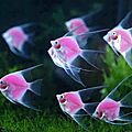 poisson rose57243_n