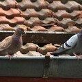 Pigeons - Dijon - Mai 2007