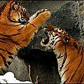 tigrew6hhbo1_500