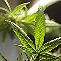 Les Pavillons-sous-Bois. Une ferme de cannabis découverte