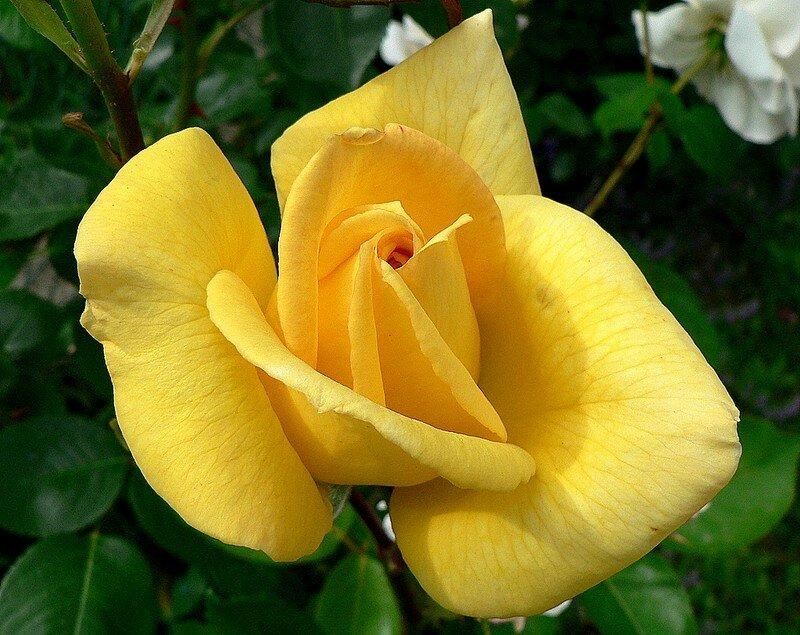 rose O Sole Mio