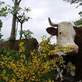 2008 05 25 Une vache et un genet en fleur