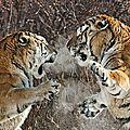 tigre siberie_l