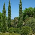 Cyprès de Provence • Cupressus sempervirens