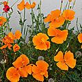 Des pavots de Californie pour prairies et bordures fleuries