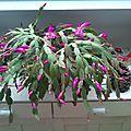 Cactus de Noël.