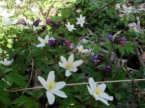 2008 04 23 Des fleurs sauvages le long du Lignon