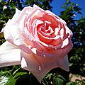 La rose du