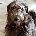 Mac, the Scottish Deerhound