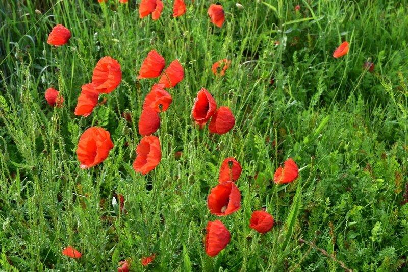 Poppies-18-06 (8) (1200x800)
