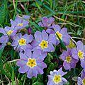 Primevère des jardins - Primula hortensis