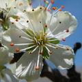 2008 05 07 Une fleurs de prunier
