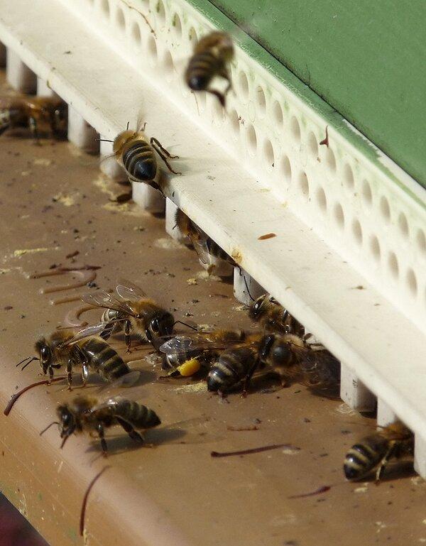 Du pollen