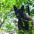 Chiens de taiwan/taiwanese mountain dog/台灣犬