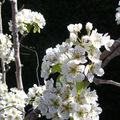 poirier (fleurs)