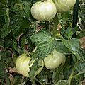 Les tomates 2015
