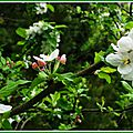 Fleurs de Pommier 1804152
