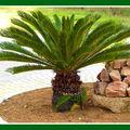 La plante du jour -> <b>CYCAS</b> REVOLUTA