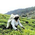 Montagnes : cueillette du thé