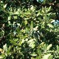 Chêne kermès - Quercus coccifera (du nom arabe, al qirmiz, cochenille qui a permis aux romains de teindre en carmin leurs toges