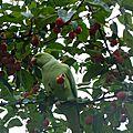 Les perruches aiment les pommes