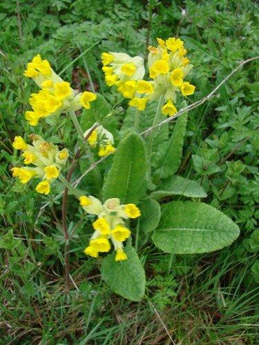 2008 04 20 Des fleurs de Coucou