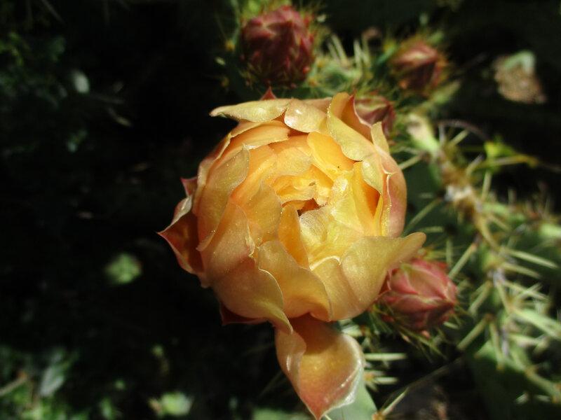 figues de barbarie - cactus (7)