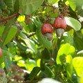 Pomme de cajou(noix de cajou à l'intérieur)
