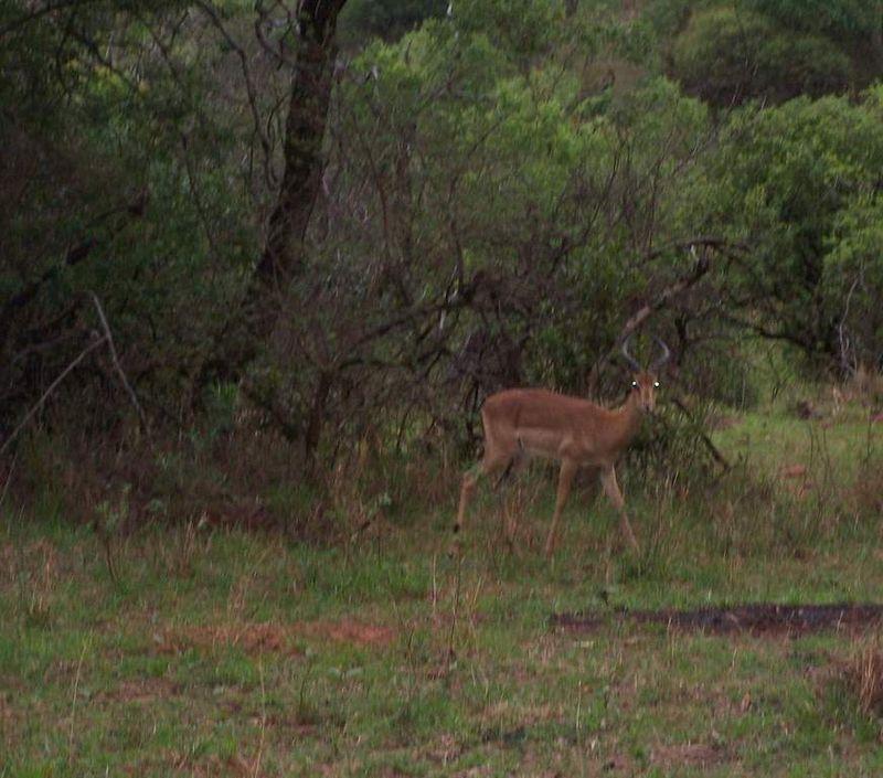 Impalas tombé de nuit
