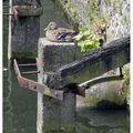 bruges_duck2