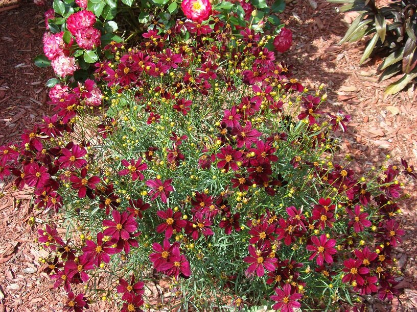 coréopsis hybride
