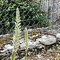 orchis platanthera