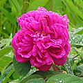 rose du massif de devant