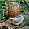 Classe : Gastropodes (ou gastéropodes)